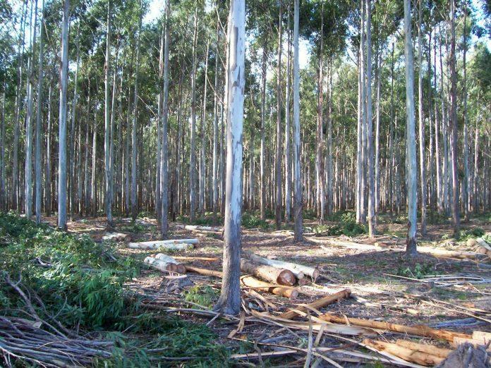 Paraguay: Llaman a concurso para raleo de 300 hectáreas de Eucalipto en Cordillera y Caaguazú